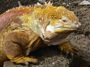 Ecuador, Galapagos, Leguan auf Fels, Latin America Tours, Reisen