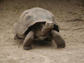 Ecuador, Galapagos, Riesenschildkröte, Latin America Tours