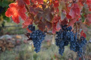 Argentinien, Mendoza, Weintrauben im Herbst, Valle de Uco, Casa de Uco, Latin America Tours
