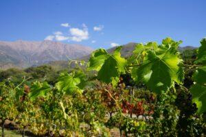 Argentinien. Norden, Weinreben auf der Estancia Colomé, Valles Calchaquís, Latin America Tours