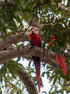 Costa Rica, Carara Nationalpark, Roter Ara, Studienreise, Alessandra Rüfenacht, Latin America Tours