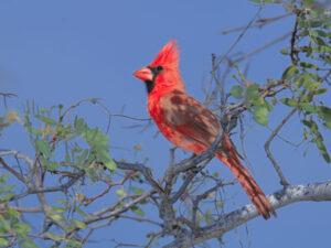 Mexiko, Cardinal, Vogel, Ventana Bay, Mexiko Reise planen, Latin America Tours