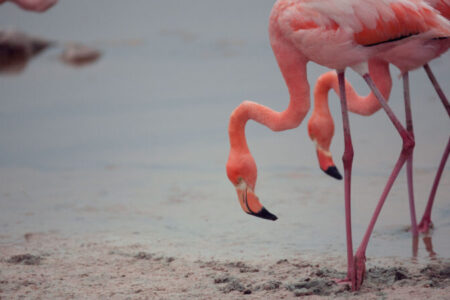 Ecuador, Galapagos, Flamingo, Isla Isabela, Latin America Tours